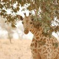 Una Giraffa del Niger allo stato brado