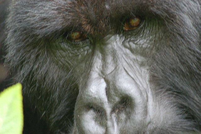 Gorilla di Motagna del Ruanda, ci tiene d'occhio!