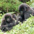 Gorilla di Motagna del Ruanda, foto di famiglia!