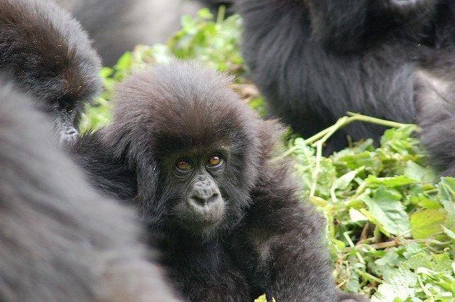 Gorilla di Motagna del Ruanda, un piccolo!