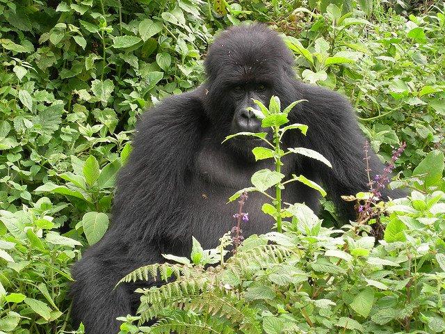 Gorilla di Motagna del Ruanda, il grande maschio controlla
