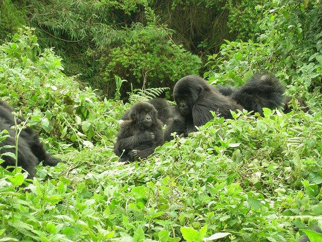 Gorilla di Motagna del Ruanda, sono in aumento!