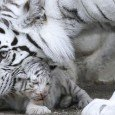 tigre.bianca-bengala-giappone