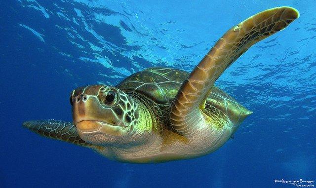 tartaruga-verde-di-mare
