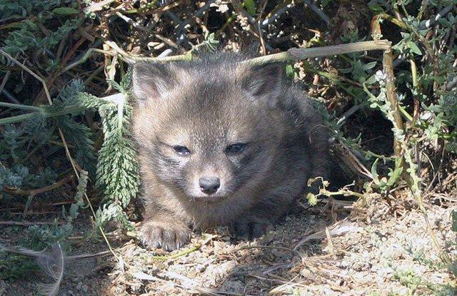 channel-island-fox-volpe-2
