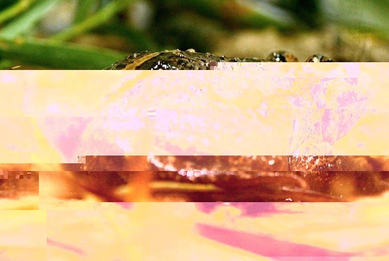 hula-painted-frog-rana-dipinta-israele