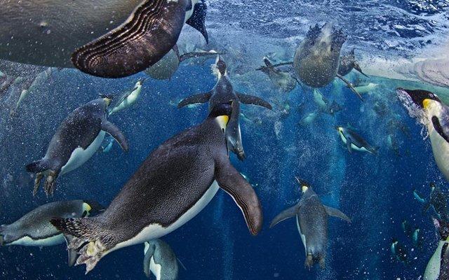 pinguini-imperatore-mare-di-ross-antartide