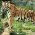 leonardo-di.caprio-dona-e-milioni-dollari-per-salvare-la-tigre