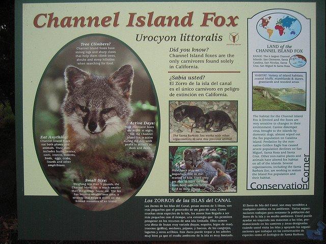 channel-island-fox-volpe-3