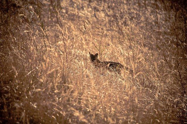 channel-island-fox-volpe