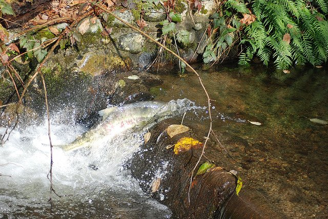 chum-salmon-vancouver